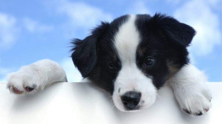 Australian Sheepdog Puppy