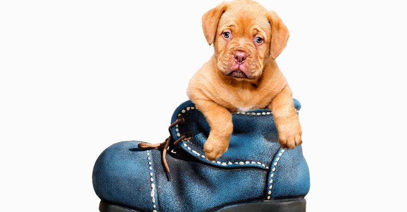 Brown dog puppy in blue shoe