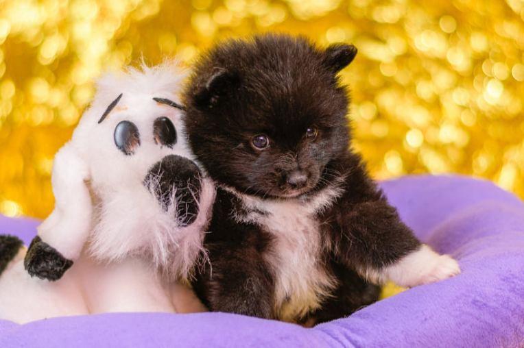 Spitz puppy with stuffed toy