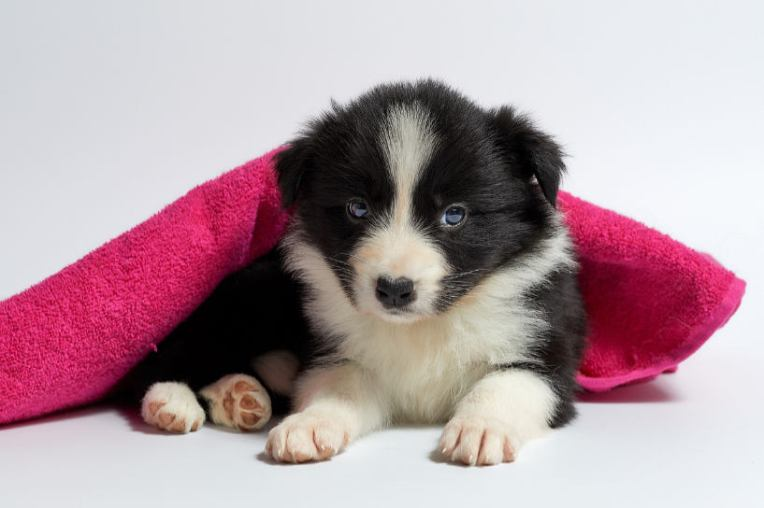 Black white puppy under towel