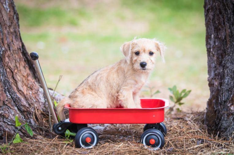 Cream puppy on red cart