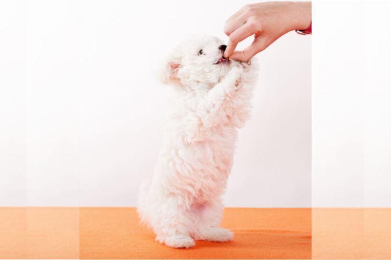 Dog Puppy Bolonka Zwetna White