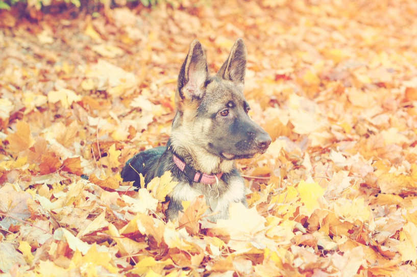 German Shepherd dog puppy in autumn leaves
