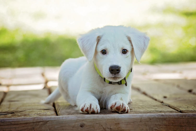 Laying white puppy on wooden floor