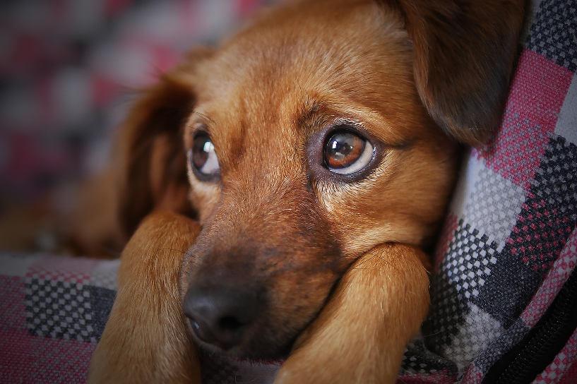 cute brown puppy on chair